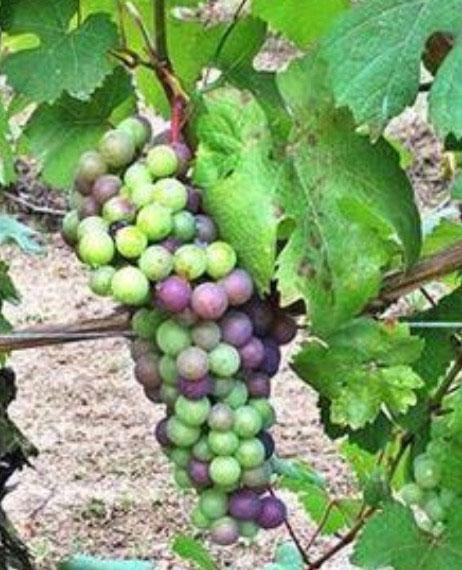 massucco grapes
