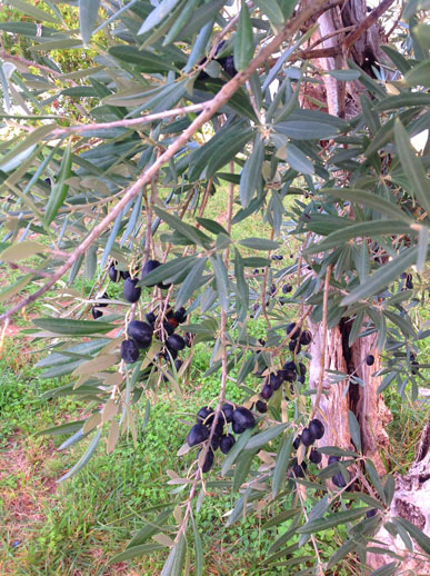 alentejo olives