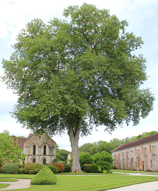 Fontenay Abbey tree