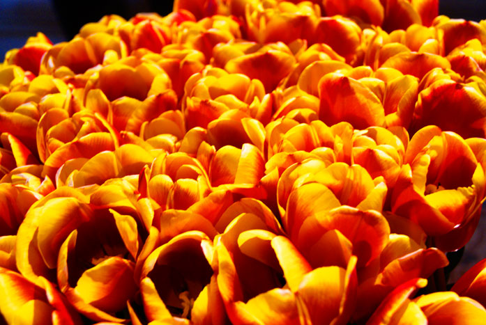 Dutch liberation tulips