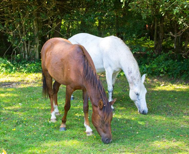Balmer Lawn pony