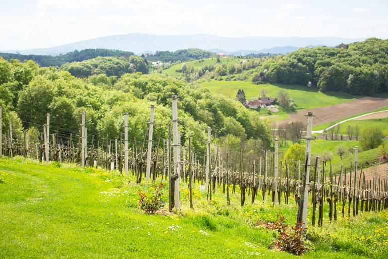 Maribor vines Slovenia