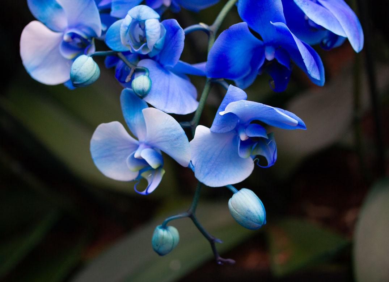 Kew orchid
