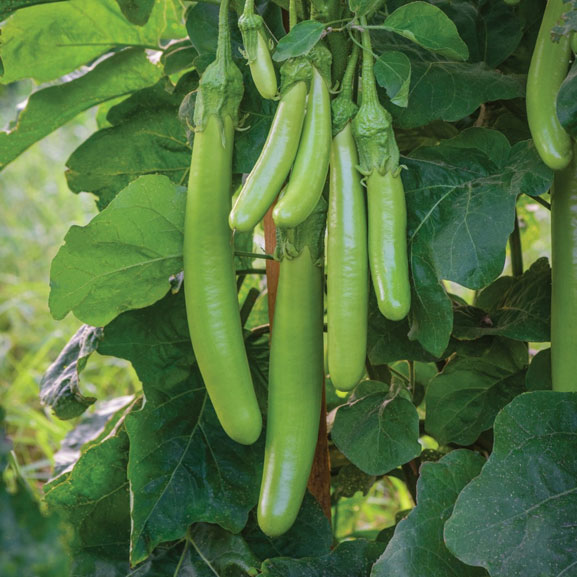 Burpee Aubergine – Time to Sow