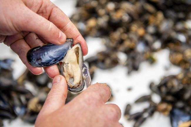 zeeland mussel